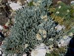 Achillea fraasii sbp.troiana (Kazdağı civanperçemi, ayvadana)