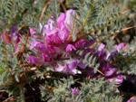 Astragalus idea Sirj (Geven)