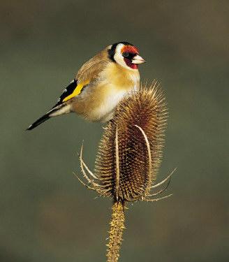 Saka Kuşlarının Özellikleri ve Resimleri